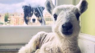 A lamb inside a house looks directly at the camera, behind it a sheepdog looks through a window form the outside