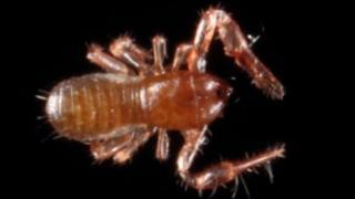 Kewochthonius halberti species of 'false scorpion'
