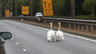 Swans on the road