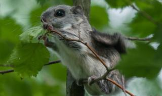 A baby Siberian flying squirrel