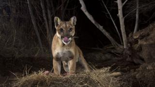 File picture of mountain lion in Santa Susana Mountains in California