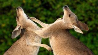 Східні сірі кенгуру