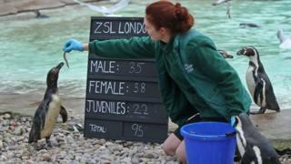 Penguin eats fish