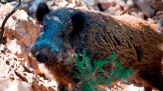 A boar in Sardinia