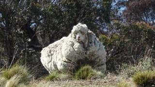 A heavily overgrown sheep near Canberra