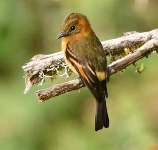 Cinnamon flycatcher, Pyrrhomyias cinnamomeus. One of the most attractive and approachable birds of Colombia's high montane forest.