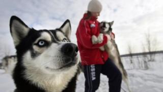 Собаки хаски в России