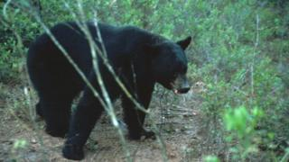 A Florida Black Bear is pictured in Florida in this undated handout photo