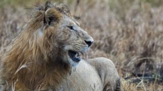 elephant , lions