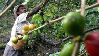 Agricultor cuida de cafeeiro