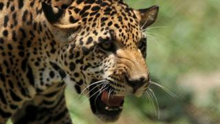 A young jaguar is seen inside the enclosure at the Nehru Zoological Park in Hyderabad (11 May 2011)