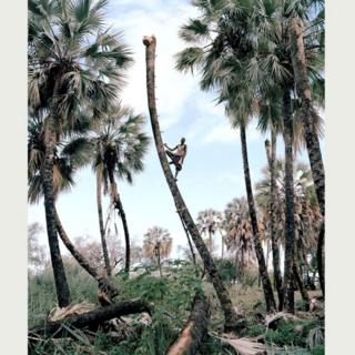 Собиратель пальмового вина, Намибия (Кайл Уикс)