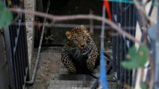 A wild leopard runs on the stairs as it tries to escape from a compound of a house in Kathmandu, Nepal
