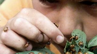 Someone looks close up at ladybirds, 1976