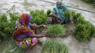 Indian farmers prepare to plant paddy saplings after monsoon rains at Sherpur village, north of Allahabad, India, Sunday, July 12, 2015
