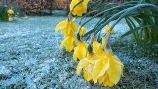 Daffodils drooping in the snow