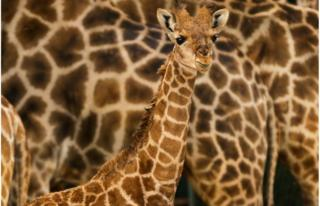 The Zoo of Lisbon has a new inhabitant, a young Angola Giraffe.