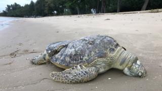 Dead turtle on Changi beach, Singapore