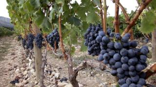 Grapes growing in Roussillon vineyard, 2005 file pic
