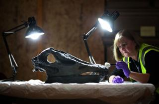A woman cleaning the skull of Dippy the Diplodocus