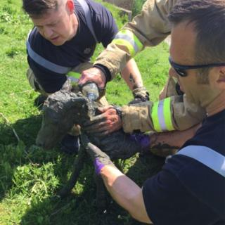 The foal was rescued, then hosed down and returned to its mother