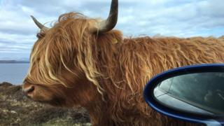 Highland cow near NC500 just north of Applecross