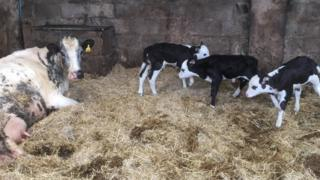 The heifer and her three triplets