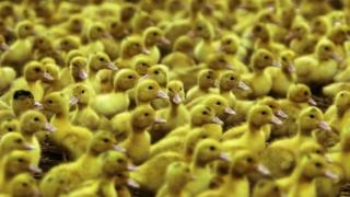Ducks being raised for Foie Gras production in Bulgaria