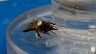 Bee drinking caffeinated nectar