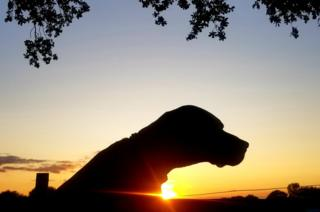 A silhouette of a Vizla dog