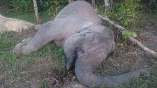 The body of critically endangered Sumatran elephant Yongki, lies on the ground after he was found dead in his enclosure close to a camp in Indonesia's Sumatra island