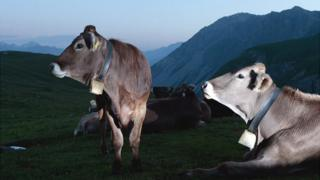 Cows in the Alps - file pic