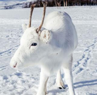 Filhote de rena branca pisando sob a neve, com o rosto virado para seu lado direito, olhando em direção à câmera