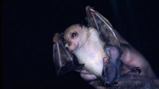 New species of bat