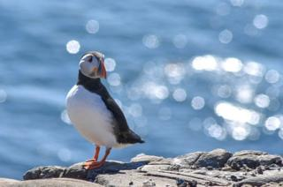 A puffin bird on a cliff