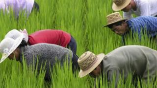 In this handout photo released by World Food Programs (WFP), North Korean cooperative farm workers weed a rice paddy in Unpha County on July 19, 2005