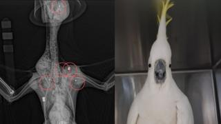X-ray images of Mr Cocky the cockatoo