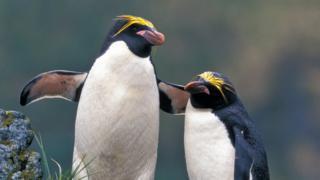 Two macaroni penguins
