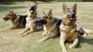 Police dogs (generic)