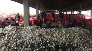 ترکی میں پیاز کی فصل