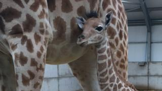 Baby Kordofan giraffe