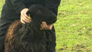 Surviving sheep
