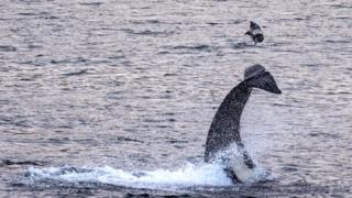 Killer whale flips seal