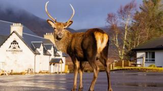 stag in Glencoe