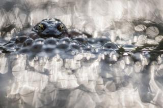 A frog seen with frogspawn