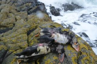 Dead puffins