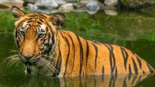 孟加拉虎(圖片來源:Roop Dey/Alamy)