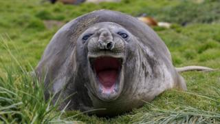 A seal lying on grass opens its mouth really wide