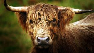 Highland cattle generic