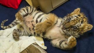 The recovering tiger cub in San Diego zoo